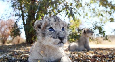 south african lion cubs